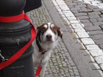pies na smyczy patrzący do góry