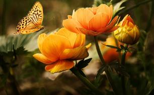 Na zdjęciu widzimy duże kwiaty - żółto-pomarańczowe, oświetlone promieniami słońca i motyla zbliżającego się do płatków tych kwiatów