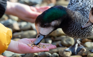 kaczka karmiona zbożem - zwierzę je z ręki człowieka