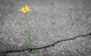pęknięta droga asfaltowa, wyrastający z niej żółty kwiatek