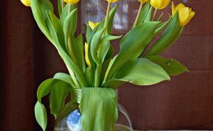 Na zdjęciu widzimy kilka żółtych tulipanów umieszczonych w szklanym wazonie wypełnionym w połowie wodą.